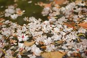 Sakura blossom petals falling on the water at Kyoto with nobody