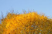 Top Of Autumn Maple Tree With Yellow Foliage On Blue Sky