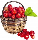 Wild Strawberries  close up in wicker basket close up  isolated over white background