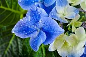 Hyndrangea Hortensia Flower with water drops top view close up macro shot