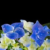 Hortensia Hyndrangea Flower with water drops close up wih copy space on black background