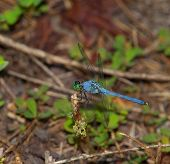 Green And Blue Dragonfly