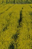 Blooming Canola
