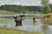 stock photo of water bug  - Cows in the river Bug watering - JPG