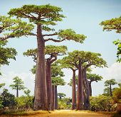 foto of baobab  - Baobab trees and rural road at sunny day - JPG