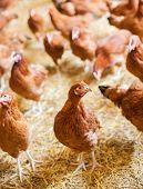 Chicken farm, free rage