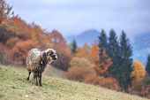 sheep on autumn meadow in mountain