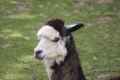 stock photo of alpaca  - Head of a black and white Alpaca with grass in background - JPG