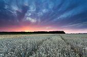 Beautiful Sunset Over Wheat Field