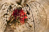 Dried Physalis lantern