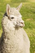 Close up of lama laying on the grass Arequipa Peru