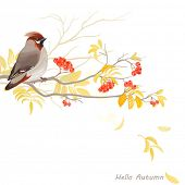 Autumn background with bird waxwing on branch rowan, vector illustration.