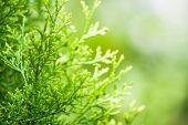 Green Thuja