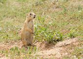Black-tailed Prairie Dog standing up next to his burrow entrance, observing his surroundings