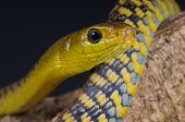 picture of tree snake  - The Tree snake - JPG