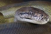 stock photo of papua new guinea  - The Papua python is a giant snake species endemic to Papua New Guinea - JPG