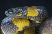 Bismarck ringed python / Botrochilus boa