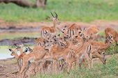 Impala Doe Caress Her New Born Lamb In Dangerous Environment