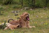 Young Lions Relaxing