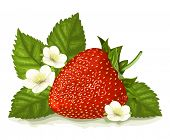 Strawberry with leaves and blossoms. Vector illustration.