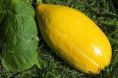 Oval Pumpkins