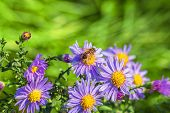 Bee On Lilac Autumn Asters