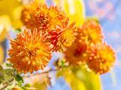 Orange Chrysanthemums On A Sunny Autumn Day