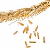 image of fall-wheat  - Spikelet and Young Grains of Wheat ears close up isolated on a White Background - JPG