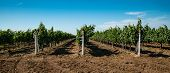 Vineyard, Grape Cultivation, Vine