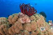 Scorpion Fish On A Hard Coral