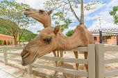 Close Up Camel