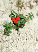 Berries Of An Unripe Cowberry Agains  The Moss Of A Reindeer
