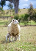 picture of suffolk sheep  - a suffolk sheep and two lambs in a field - JPG