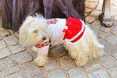 Little Dog In Vyshyvanka, National Ukrainian Embroidered Shirt In Lviv, Ukraine