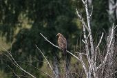 picture of buzzard  - Honey buzzard Pernis apivorus  - JPG