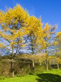 Yellow Larches, Autumn