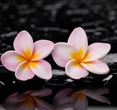Two pink frangipani,with therapy stones