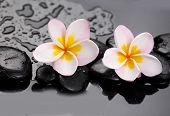 image of glorious  - Glorious frangipani or plumeria flowers and wet stones - JPG