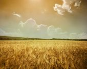 Yellow meadow under sky with clouds