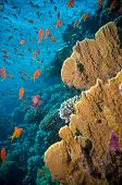 stock photo of coral reefs  - Tropical Anthias fish with net fire corals on Red Sea reef underwater - JPG