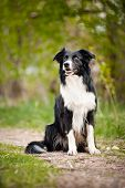 foto of spotted dog  - Young black and white border collie dog portrait in summer - JPG