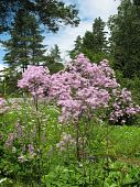 stock photo of pubescent  - Meadow - JPG