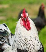 Cock close-up