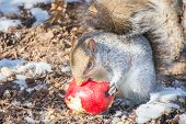 Squirrel eat red apple in winter park