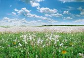 picture of dandelion  - Summer landscape - JPG