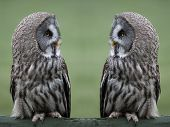 pic of owls  - Great grey - JPG