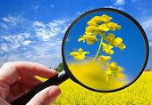 Colza  / Rapeseed Plant - Czech Agriculture - Ecological Farming