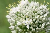 Bunch Of Small White Triangular Flowers