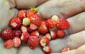 Wild Strawberry's In Hand
