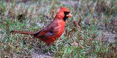 Cardinal Buzz